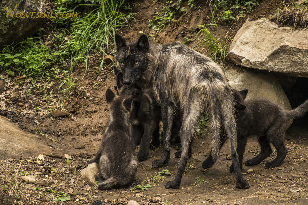 Black Wolf mother woth her pups