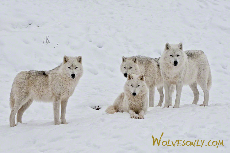 Gallery of ArcticWolves at rest