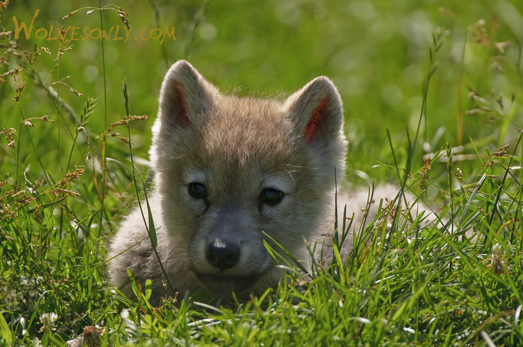 Gallery of Arctic Wolf Pups