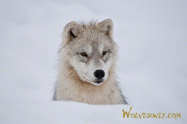 Arctic wolf in snow - photo#15
