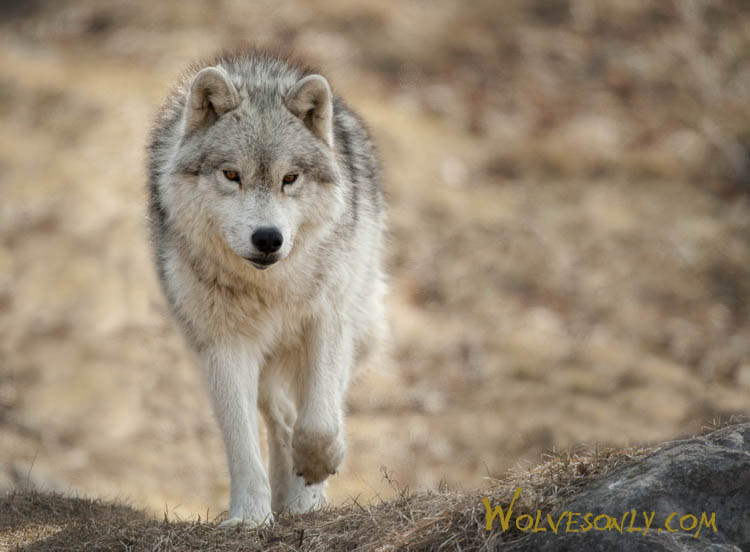 Actic Wolf