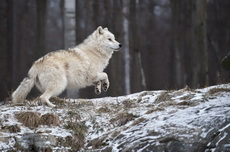 Gallery of Arctic Wolves in action
