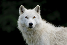 Gallery of Arctic Wolf Portraits