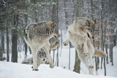 Gallery of Timber Wolves in action