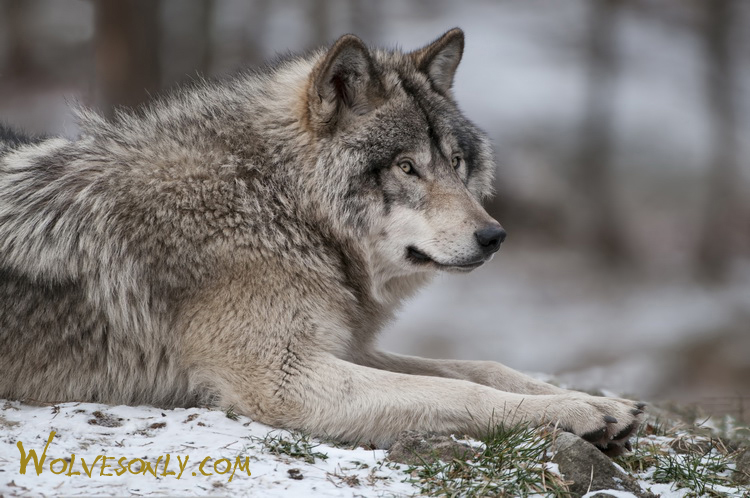 Gallery of Timber Wolves at rest