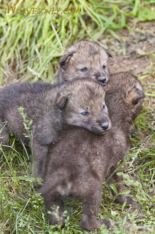 Gallery of Timber Wolves Pups